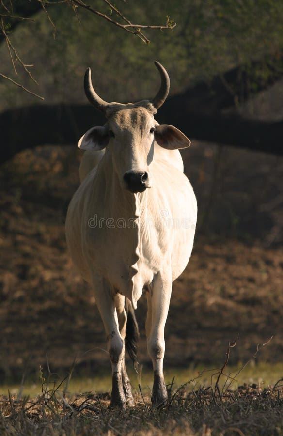 Indisches Brahmanvieh lizenzfreie stockfotos