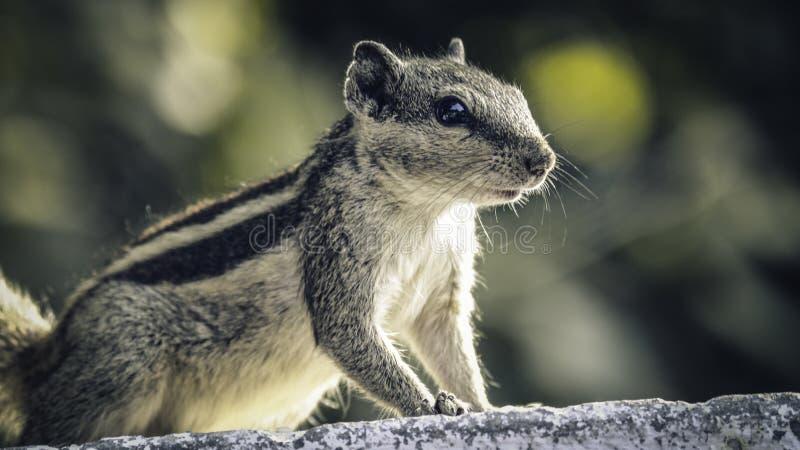 Indisches Eichhörnchen stockfoto