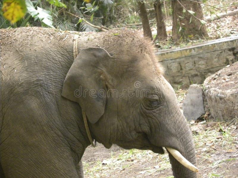 Indisches Elefantenkalb des Gesichtes stockfotografie