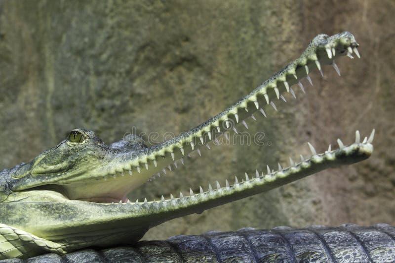Indisches gavial lizenzfreie stockfotografie