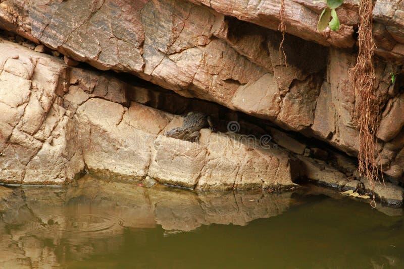 Download Indisches Krokodil stockfoto. Bild von reptilien, indien - 96929954