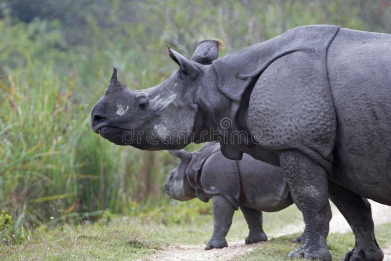 Indisches Nashorn und Kalb lizenzfreies stockbild