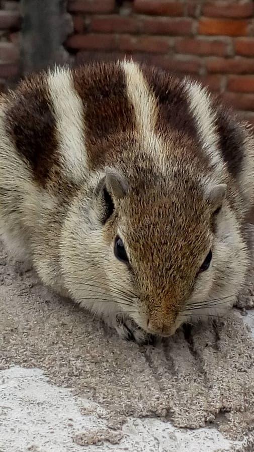 Indisches Palmen-Eichhörnchen stockfotos