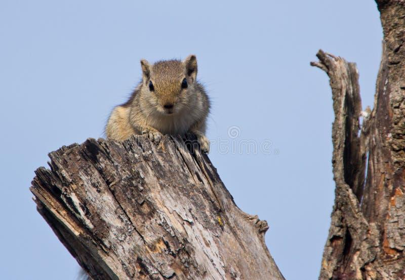 Indisches Palmeneichhörnchen auf einem toten Baum lizenzfreies stockbild