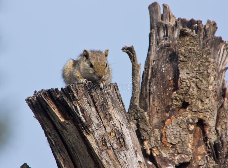 Indisches Palmeneichhörnchen auf einem toten Baum stockbilder