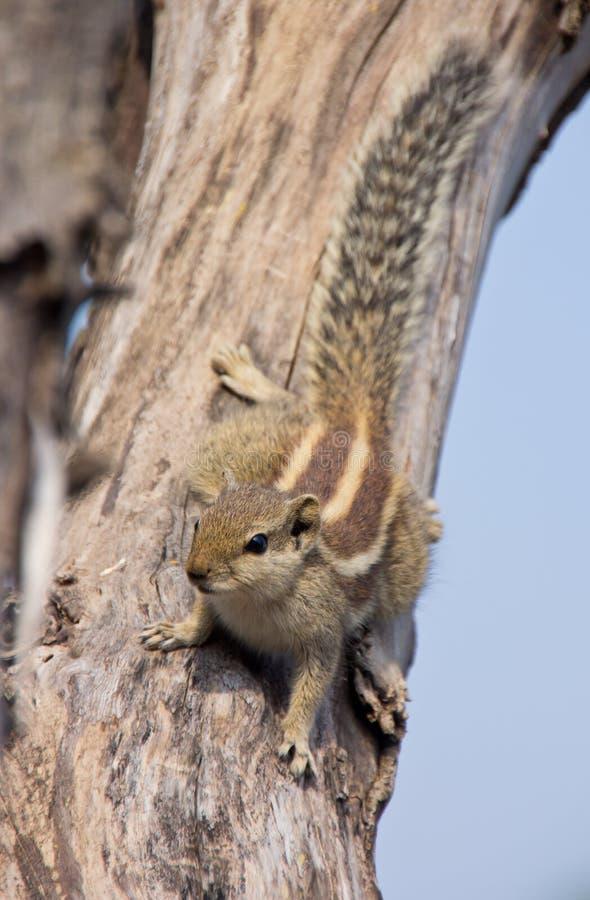 Indisches Palmeneichhörnchen auf einem toten Baum lizenzfreie stockbilder