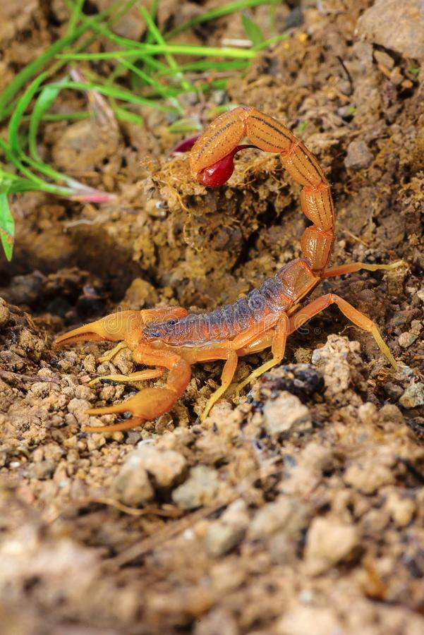 Indisches Rot-Endstück-Skorpion, Hotenttota-tamulus, Saswad, Pune-Bezirk, Maharashtra lizenzfreie stockfotografie