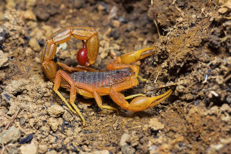 Indisches Rot-Endstück-Skorpion, Hotenttota-tamulus, Saswad, Pune-Bezirk, Maharashtra stockfotos