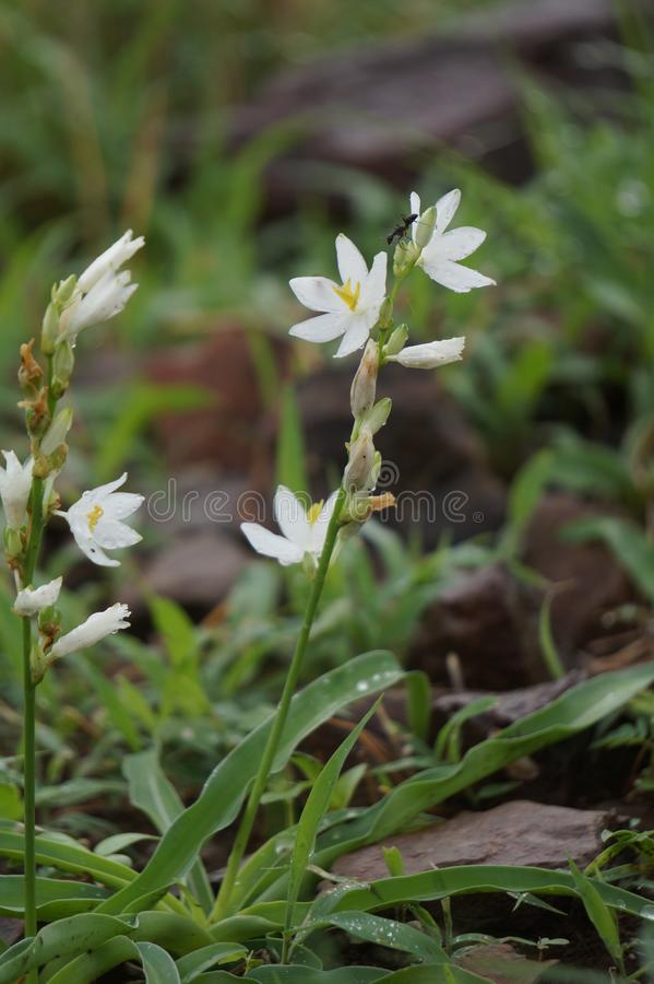 Indisk bild för vit blomma royaltyfria foton