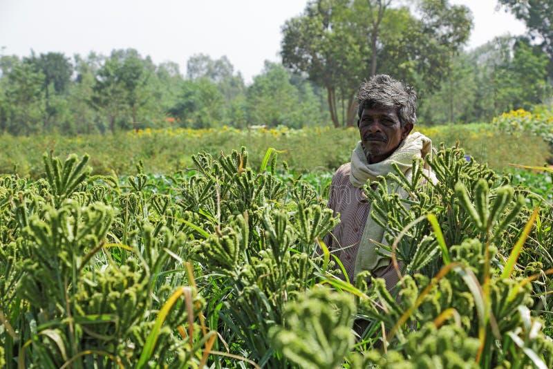 Indisk bonde på fältet för fingerhirs i Bangalore, Indien arkivfoto