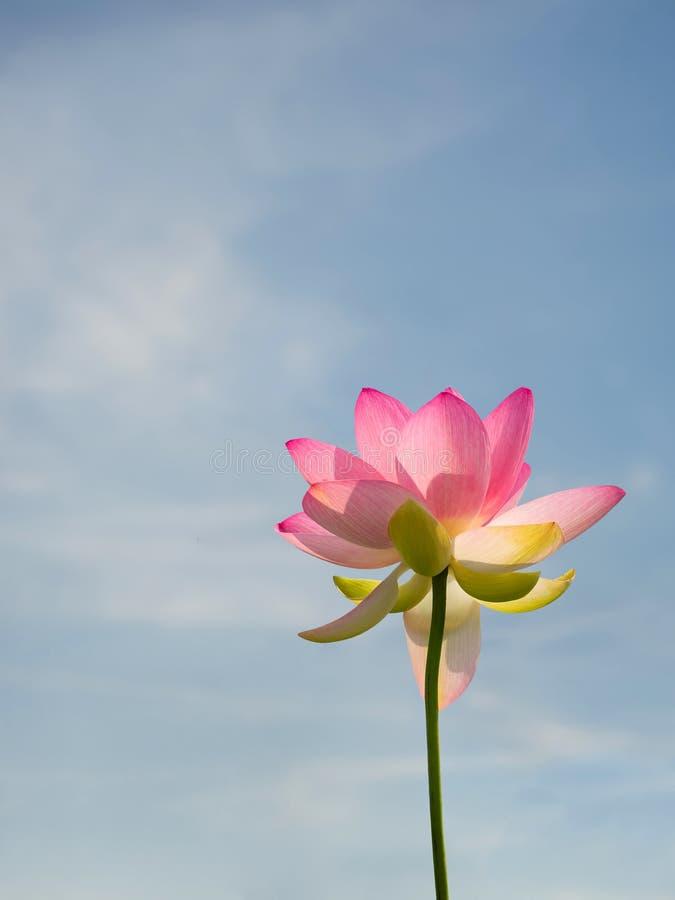 Indisk eller sakral lotusblomma för Nelumbonucifera aka Rosa blomma som beskådas från under att nå till blå himmel med copyspace arkivfoton