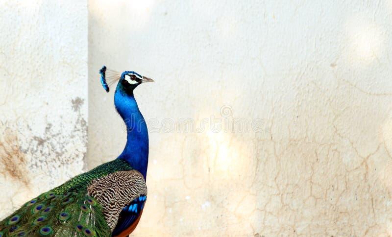 Indisk färgrik påfågelfågel - nationell fågel av Indien royaltyfria bilder