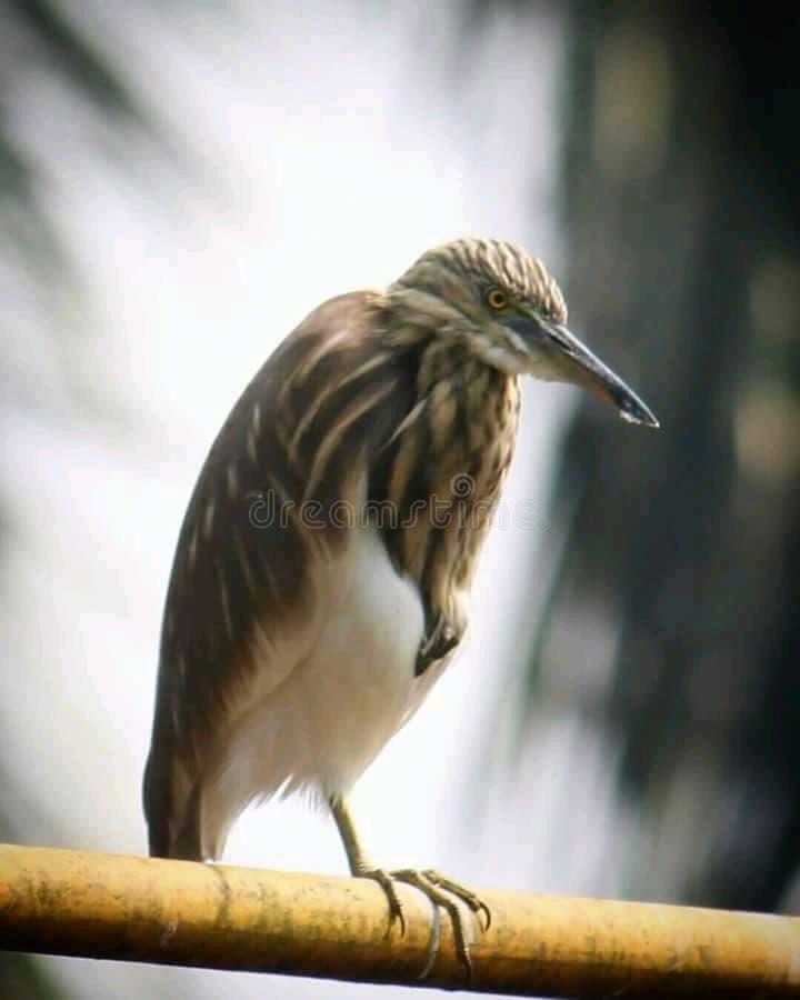 Indisk fågel royaltyfri bild