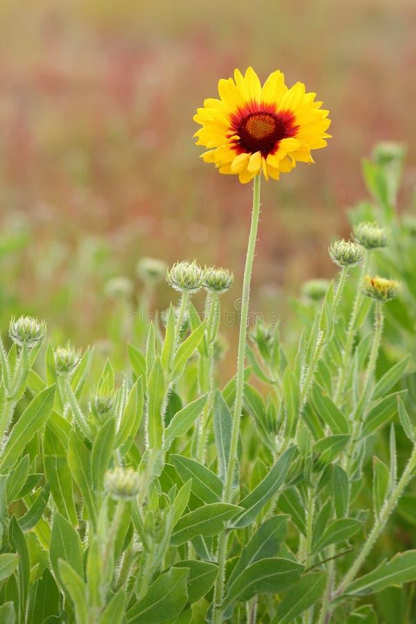 Indisk filt, Sundance eller Firewheel blomma arkivfoto