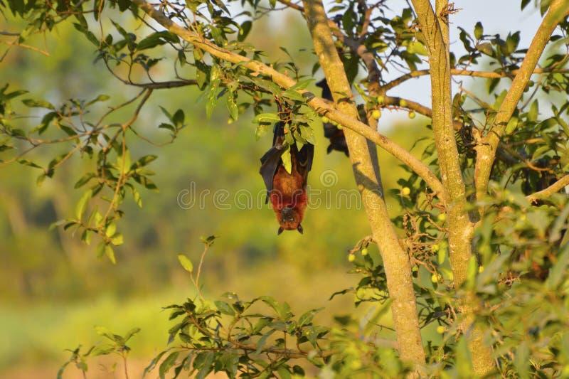 Indisk flygräv, hänga för Pteropusgiganteus som är uppochnervänt från ett träd nära Sangli, Maharashtra royaltyfri bild
