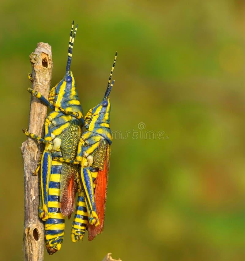 Indisk gräshopper arkivbild