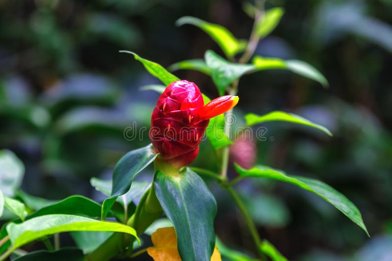 Indisk Head ingefära eller Costus Woodsonii, röd blommaslutsikt royaltyfri foto