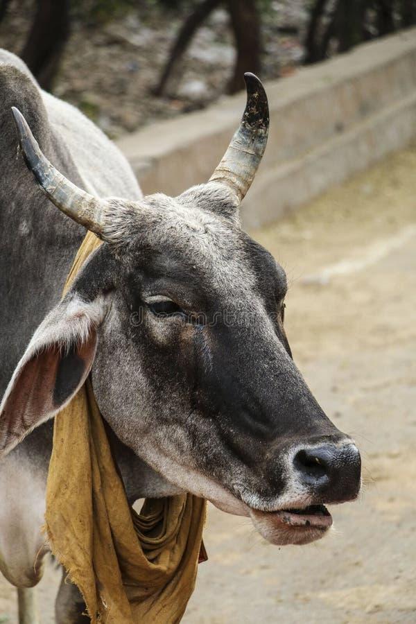 Indisk helig ko med en bandanna som binds i cowboystil royaltyfri bild