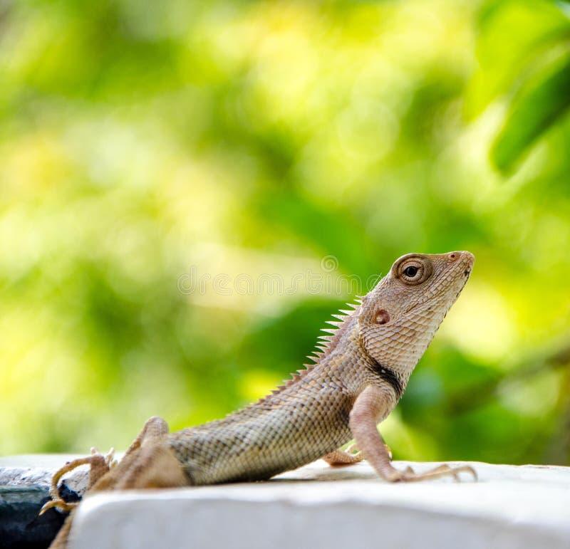 Indisk kameleont royaltyfri foto