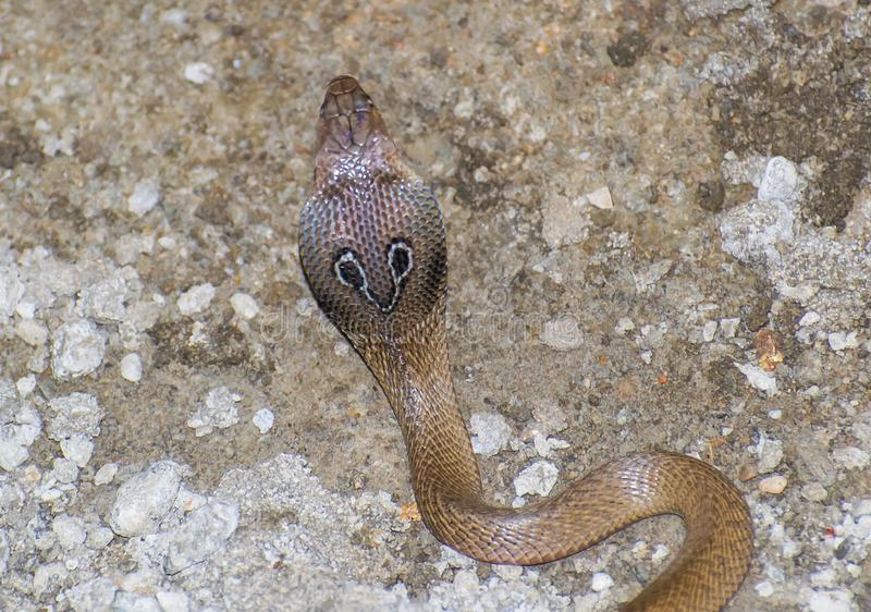 Indisk kobra Naja Naja arkivfoton