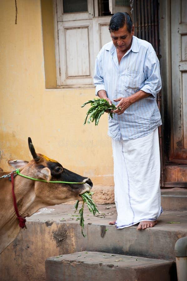 Indisk man som matar den heliga kon på gatan Indien Trichy, Tamil Nadu royaltyfria bilder