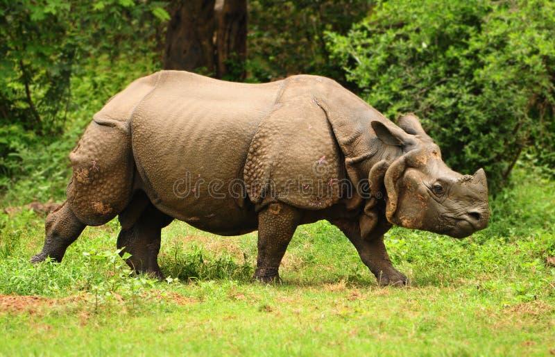 indisk noshörning royaltyfria foton
