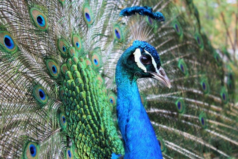 indisk påfågel fotografering för bildbyråer