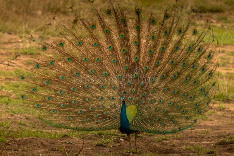 Indisk påfågeldans i regnet på bandipurskogområde som håller ögonen på dess besökare som är i jeepsafari royaltyfri foto