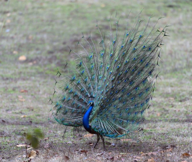 Indisk peafowl med fjädrar som fullständigt visas royaltyfri bild