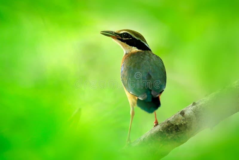 Indisk pitta, Pitta brachyura, i den härliga naturlivsmiljön, Yala nationalpark, Sri Lanka Sällsynt fågel i den gröna vegetatione arkivbilder