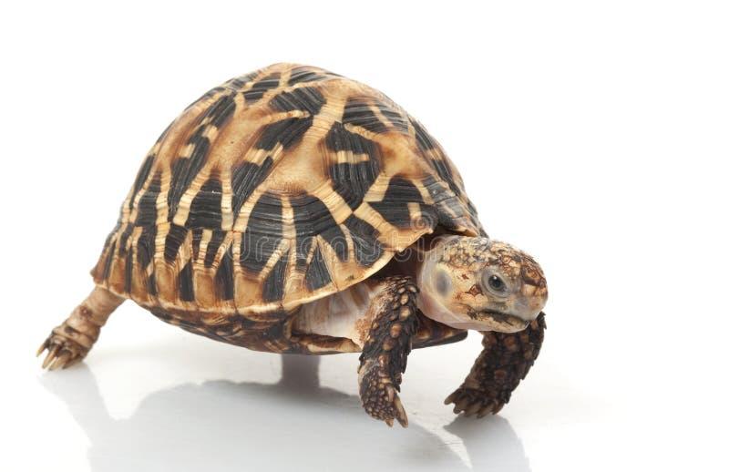 indisk stjärnasköldpadda arkivfoton