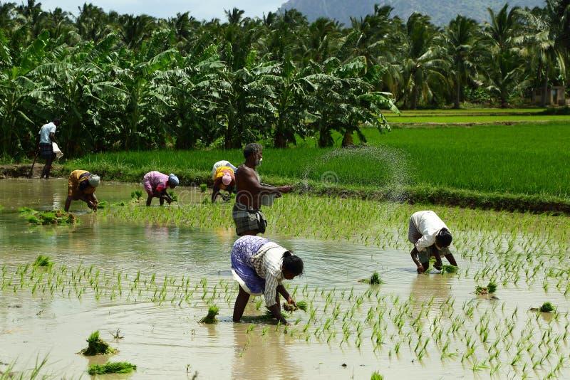 Indiska bönder som arbetar i risfälten royaltyfria bilder