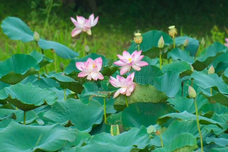Indiska blommor för sakral lotusblomma för lotusblomma royaltyfria foton