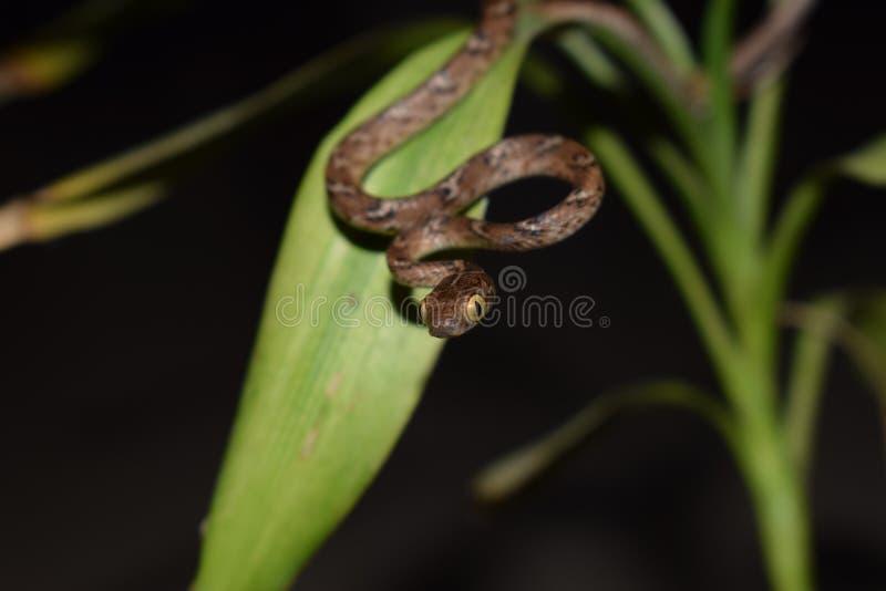 Indiska gemensamma Cat Snake royaltyfri bild