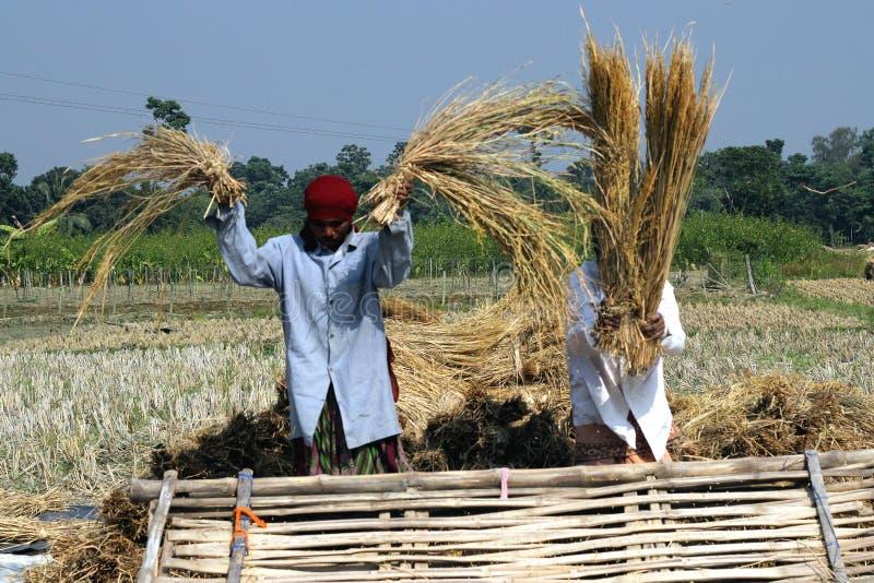Indiska jordbrukare skördar ett paddyfält royaltyfria bilder