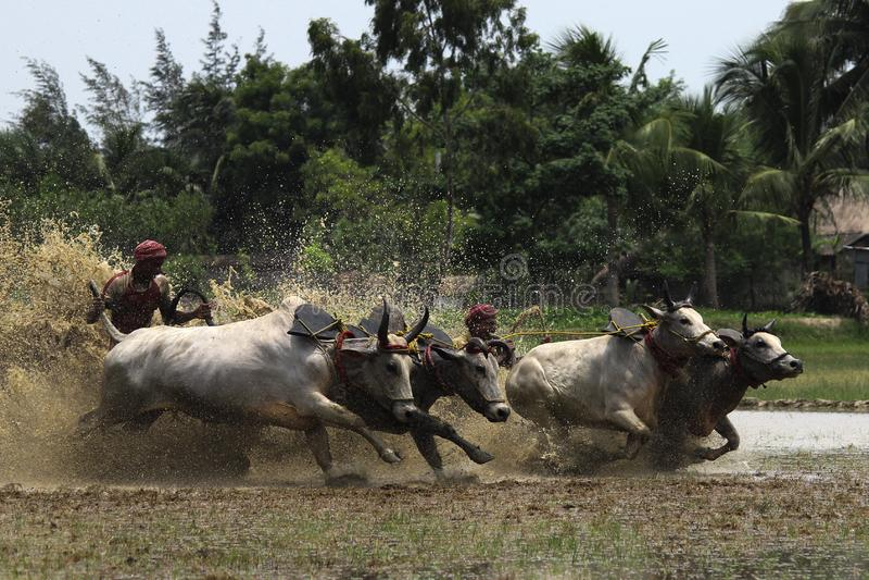 Indiska jordbrukare skördar ett paddyfält royaltyfria foton