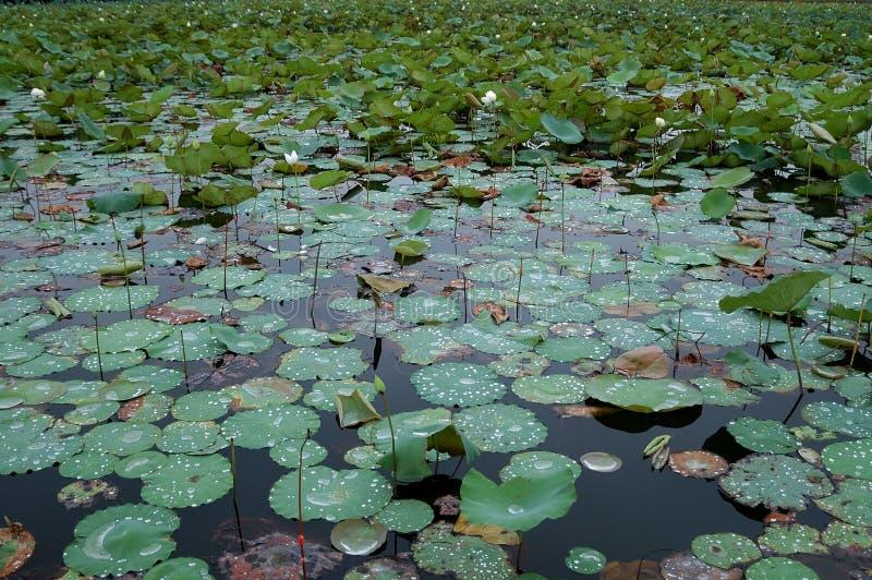 Indiska lotusblommaväxter royaltyfri fotografi