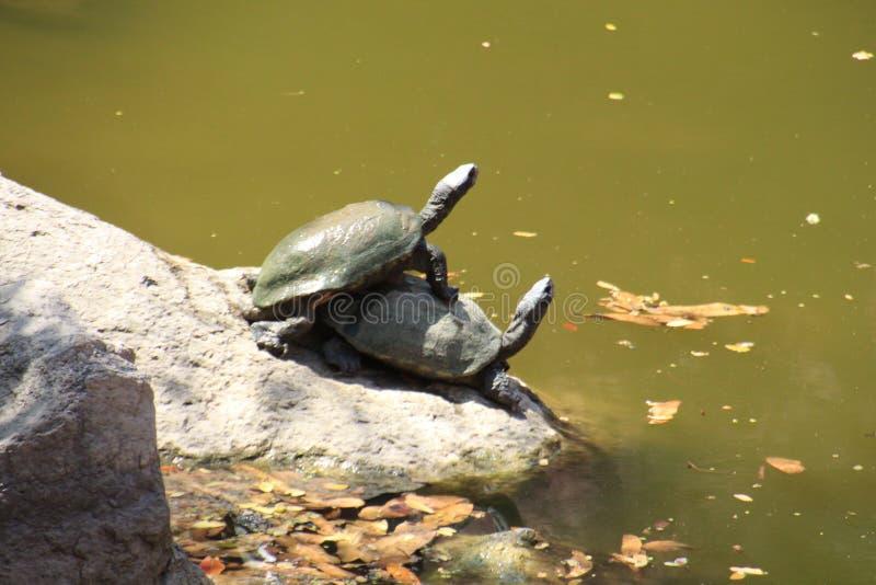 Indiska mjuka Shell Turtle arkivbilder