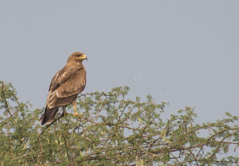 Indiska prickiga Eagle Perching på taggiga tre royaltyfria foton