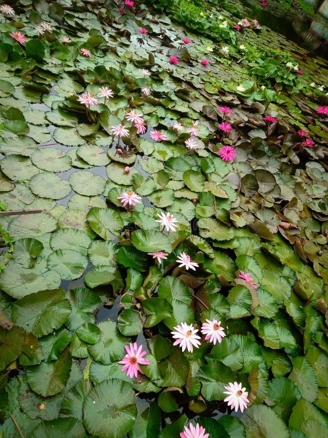 Indiska sjölotusblommablommor i trädgård royaltyfria bilder