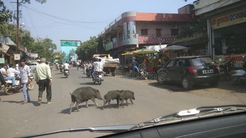 Indiska svin på den upptagna vägen royaltyfri bild