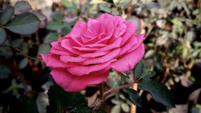Indiskt bröllop lösa Megenta Rose Flower royaltyfri bild