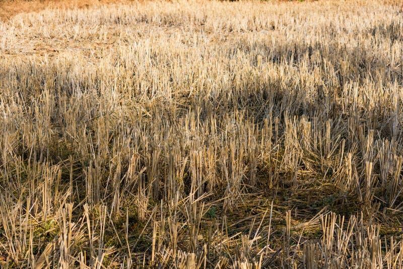 Indiskt risfältsugrör på den nära sikten som ser enorm i ett indiskt risfältlantbrukfält arkivfoto