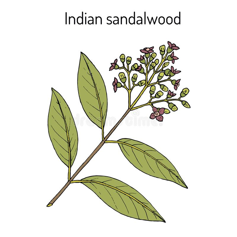 Indiskt sandelträSantalumalbum, medicinalväxt vektor illustrationer