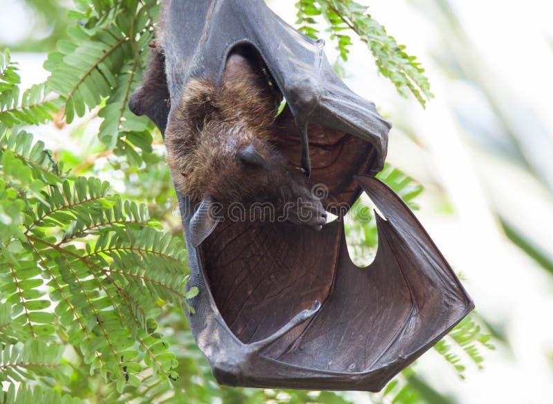 Indiskt sova för fruktslagträ arkivfoton