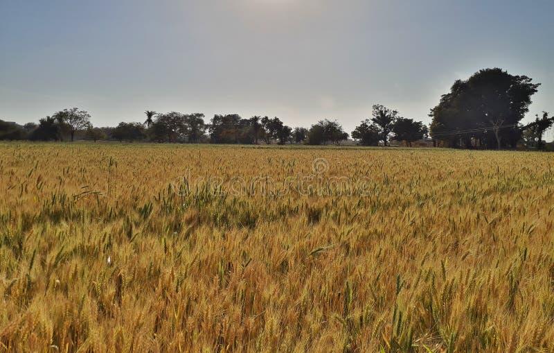 Indiskt vetefält, indiskt jordbruk arkivfoton