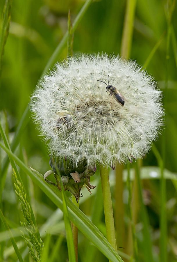 An individual dandelion clock with a bee perched on it. A dandelion clock in a field with a single bee perched on top of the feathery seedlings royalty free stock photo