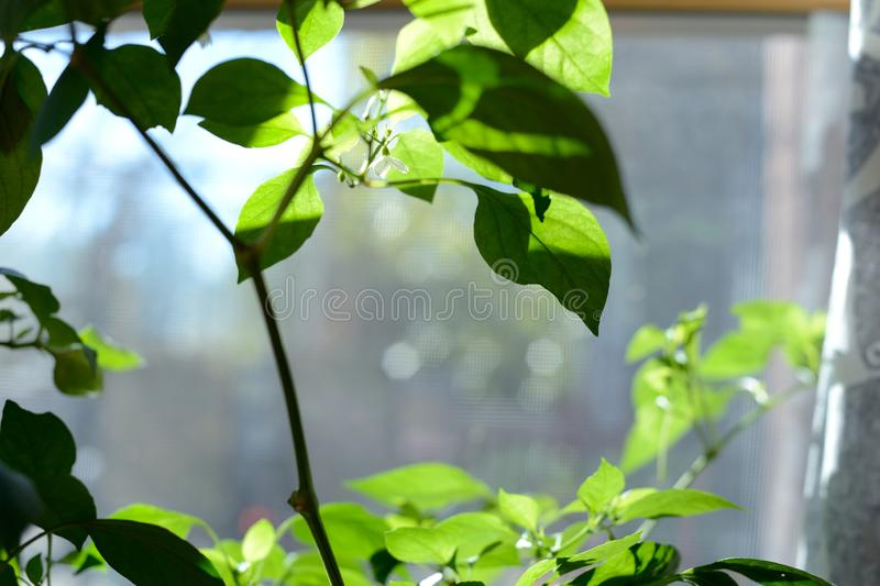 Individual Red Chile Pepper flower growing on Pepper Plant royalty free stock photography