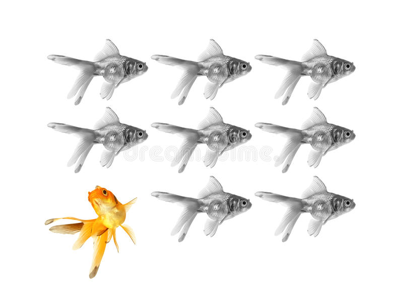 Individuality concept. Group of black and white goldfish with golden one swimming in different direction, individuality concept stock photos