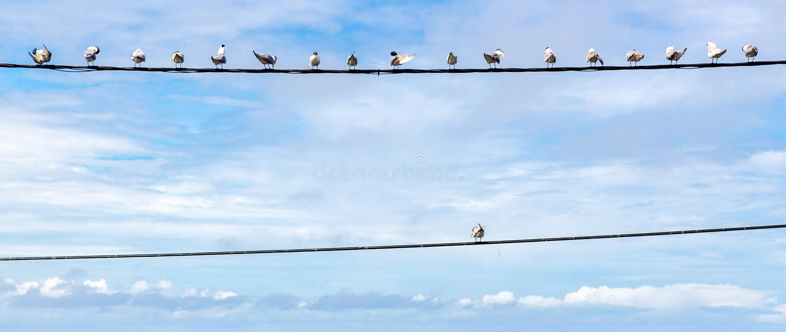 Individuality symbol, think out of the box, independent thinker concept. Group of pigeon birds on a wire. Individuality symbol, think out of the box royalty free stock photography